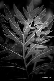 PRAIRIE DOCK LEAF PRAIRIE BOTANICALS BLACK AND WHITE VERTICAL