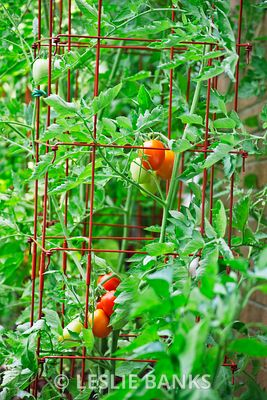 Roma Tomatoes Ripening on the Vine