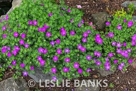 Cranesbill Perennial Geraniums in Bloom