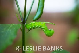 Tobacco Hornworm Eating Plant