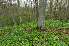 Large-Flowered Trilliums in Michigan