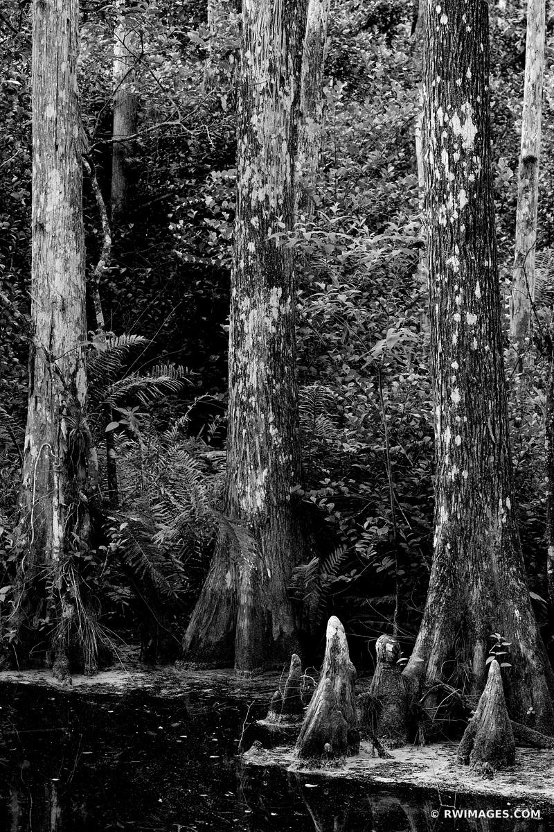 SWAMP CYPRESS TREES BIG CYPRESS NATIONAL PRESERVE EVERGLADES FLORIDA BLACK AND WHITE VERTICAL