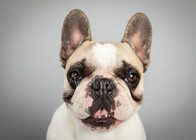 Close-up French Bulldog Smiling on Gray Background
