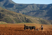 Basotho men ploughing and sowing, Malealea, Lesotho