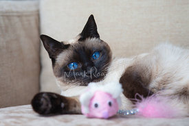 Saimese Cat with Pink Toy