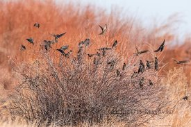 Starlings at Malheur Wildlife Refuge