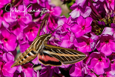White-lined Sphinx Moth, Rancho de Taos, New Mexico