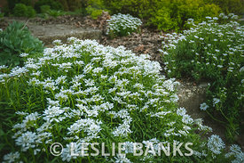 Candytuft Flower Mounds