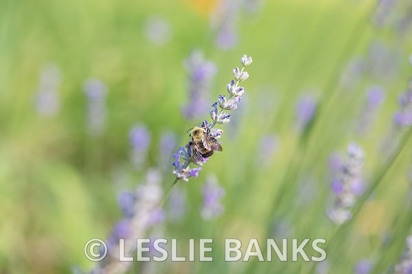 Bee on a Lavender Plant