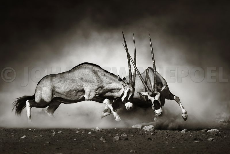(RM) Gemsbok dual in dust - b&w fine art