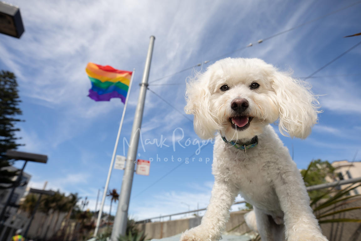 White Poodle Mix Dog Near Pride Flag in SF Castro