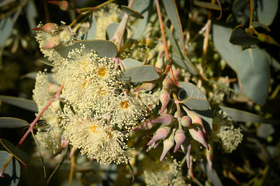 Curly Mallee E. gillii flowers