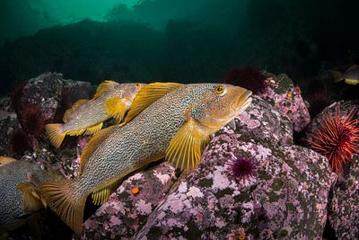 Group of female Kelp Greenling, Hexagrammos decagrammus, resting on rocky bottom