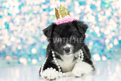 Black and white puppy wearing crown and pearls with sparkle background