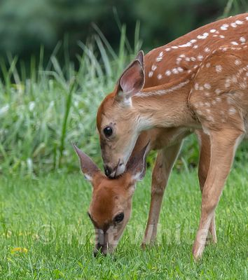 RC_fawns_nuzzling_Date_(Month_DD_YYYY)1_400_sec_at_f_8.0_NAT_WHITE