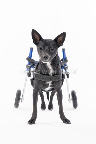 Cute handicapped black chihuahua