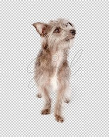 Small grey terrier mix dog standing looking side
