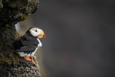 Horned Puffin on the Cliffs
