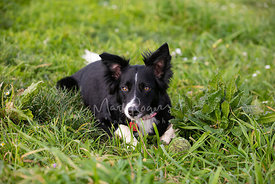 Border Collie Lying in Grass and Looking Toward Camera