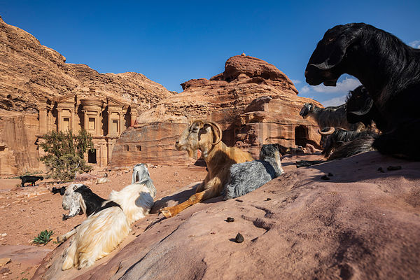 Goats Relax in the Sun near the Monastery at Petra