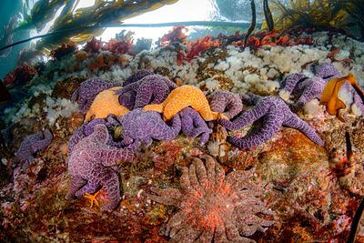 Cluster of Purple Ochre Stars, and a Sunflower Star, near the surface in Browning Pass.