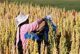 Aymara woman tying reflective foil on quinoa plants (Chenopodium quinoa) to scare birds away, Bolivia
