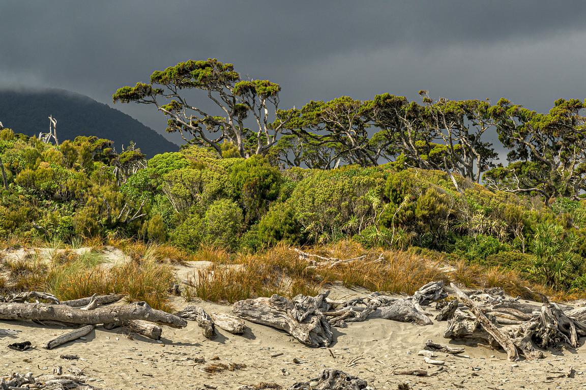 Kahikatea and other coastal vegetation at Ship Creek beach on the West Coast of New Zealands South Island.