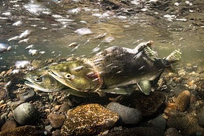 Pink Salmon Spawning sequence 1-05