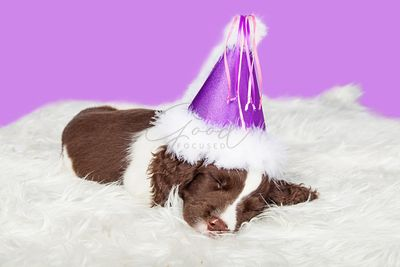 Puppy Wearing Purple Party Hat