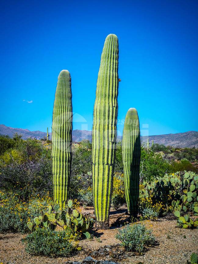 A young greeny Saguaro Cactus in Saguaro National Park, Arizona