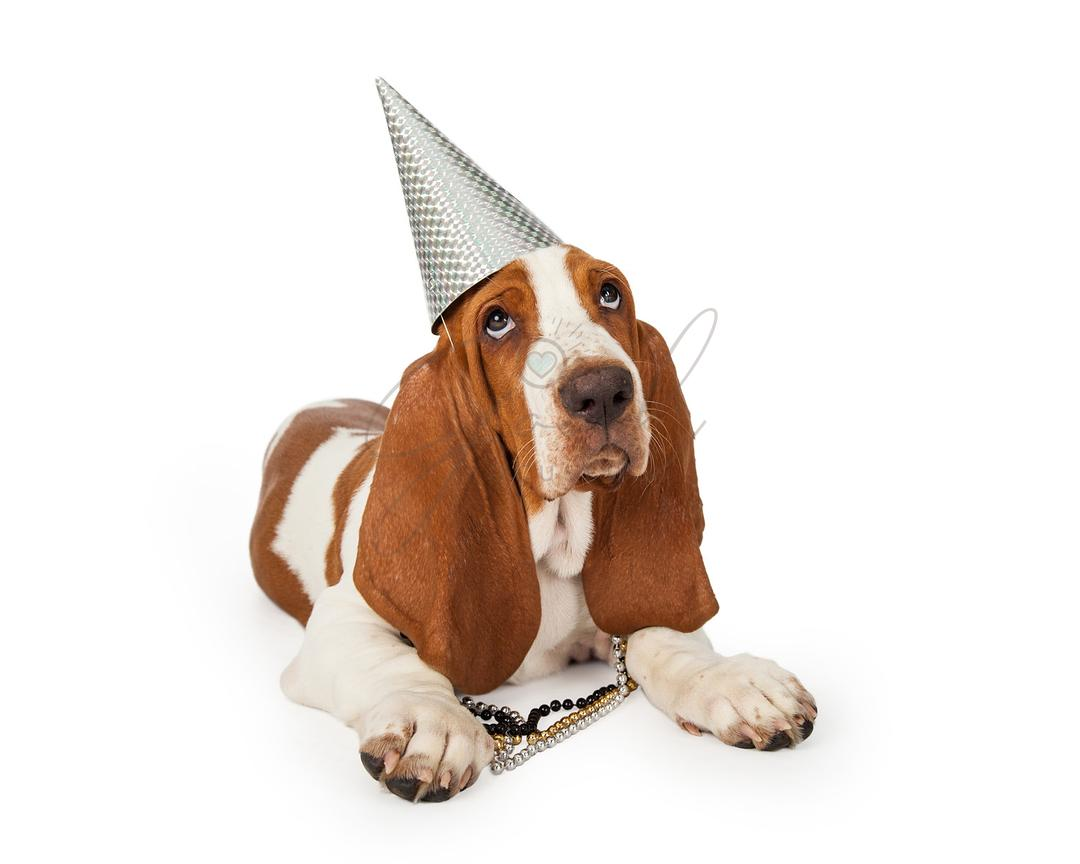 Festive Basset Hound Dog Wearing Party Hat