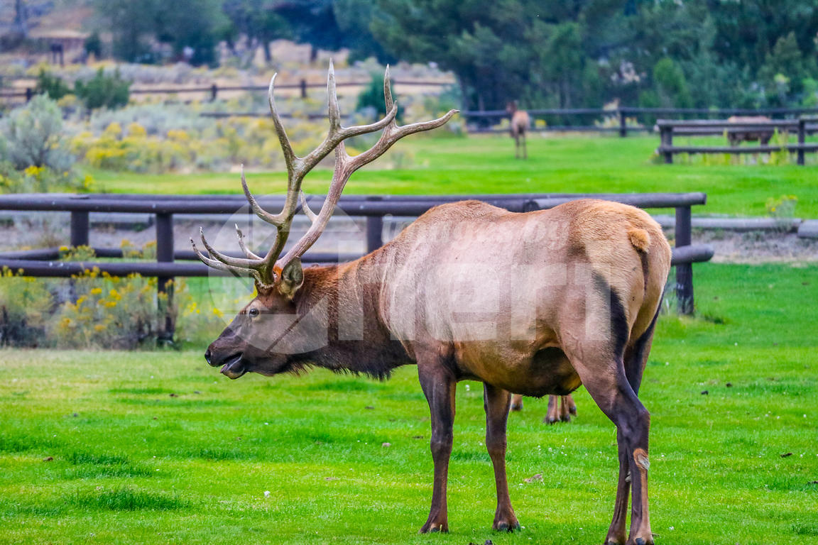 A large Bull Elk in Yellowstone National Park, Wyoming