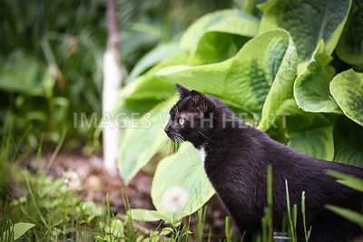 Black and white cat in hostas