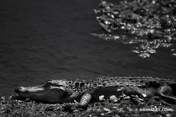 ALLIGATOR BRAZOS BEND STATE PARK TEXAS BLACK AND WHITE