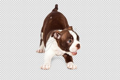 Playful Boston Terrier Puppy Dog