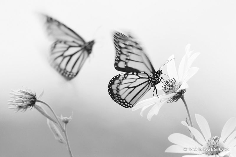 TWO MONARCH BUTTERFLIES MIDWESTERN PRAIRIE IN SUMMER BLACK AND WHITE
