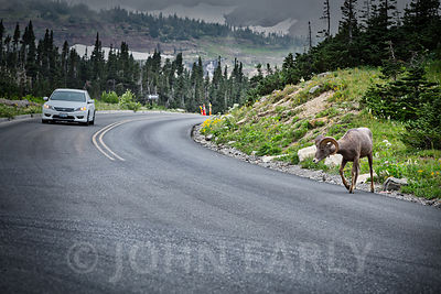 Bighorn Sheep at Logan Pass #2