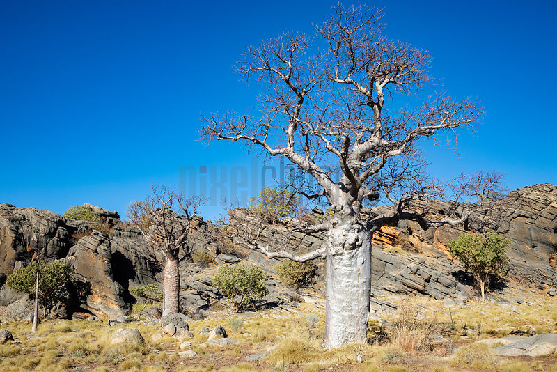 Boab Tree against Devonian Reef Formation