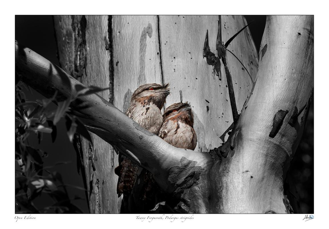 Tawny Frog mouths in a tree