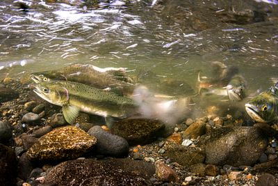 Pink Salmon Spawning sequence 1-08