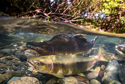 Pink Salmon Spawning sequence 2-01