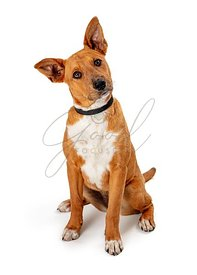 Cute listening pet dog mixed breed head tilt isolated