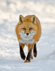 Fox on the Path
