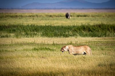 Lion Walking Through Grassland Field in Kenya