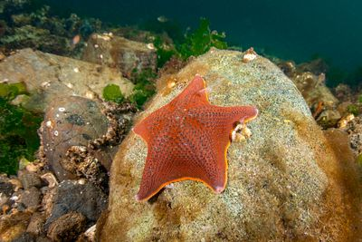Bat Star, Patiria miniata, on a rock in Tahsis Inlet.