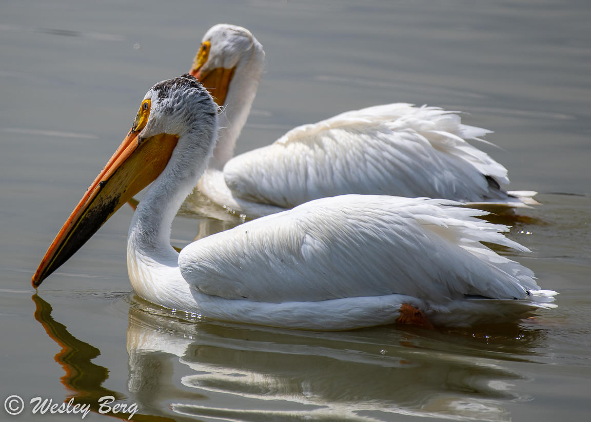 Pelicans Swimming