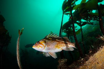Copper Rockfish, Sebastes caurinus, swimming among kelp.