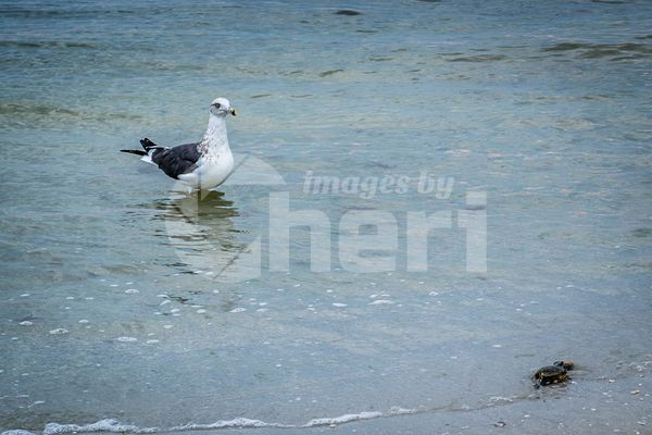 A Great Black-backed Gull strolling around in Fort Myers, Florida