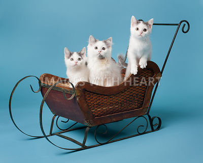 kittens in sleigh
