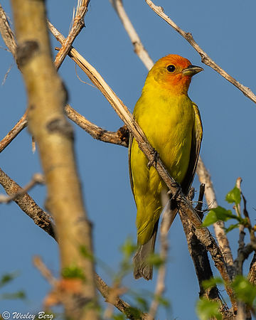Western Tanager in the Evening Sunlight